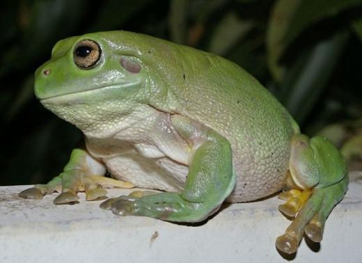 White's tree frog, wikimedia commons, Bidgee
