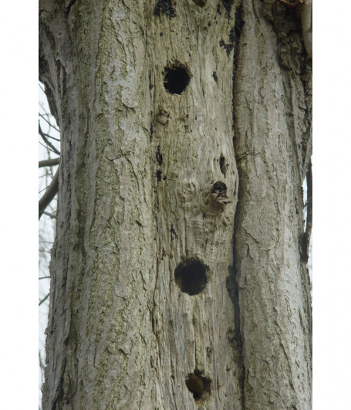 Woodpeckers just love dead trees