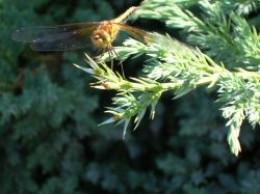 Golden Dragonfly
