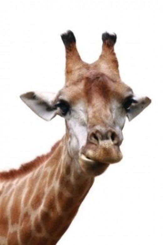 giraffe time!