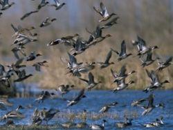 atlantic flyway ducks