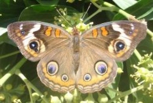 Butterfly Identification And Guide | HubPages - photo#31