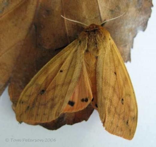 Pyrrharctia Isabella Moth