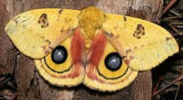 Io caterpillar adult moth