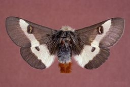 Adult buck moth