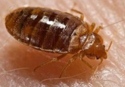 Is This a Bed Bug?