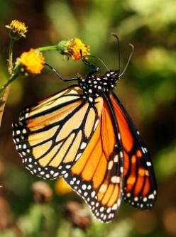 Save Monarch Butterflies by Planting Milkweed