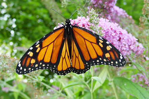 A beautiful adult monarch butterfly