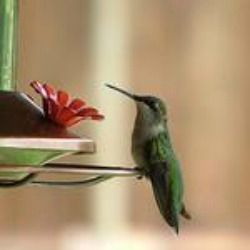 Make the solution and hummingbirds will come