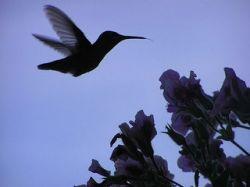 Hummingbird by By TooFarNorth@Flickr