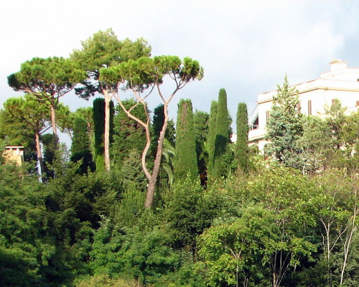 Pines of Rome; Stone pine (Pinus pinea); Natural mature shape and form;  Grown in many places for their edible pine nuts; Rome.