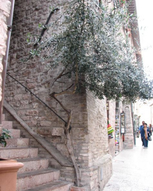 Olive tree, natural bonzai, growing from crack in pavement; Assisi, Italy