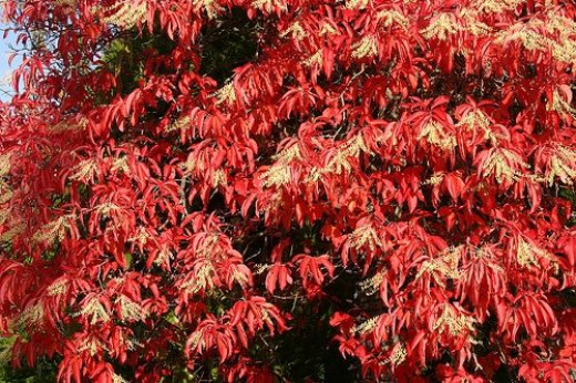 """Oxydendron Arborium - The Sour or """"Lily of the Valley"""" Tree"""