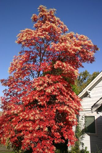oxydendron arborium or Lily of the Valley tree