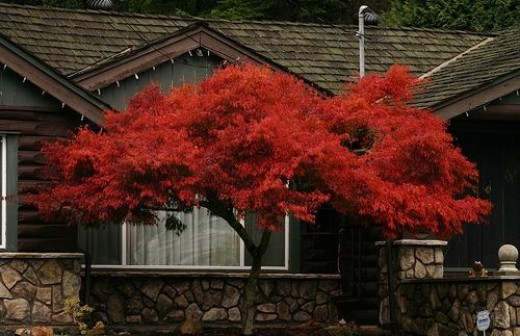 Japanese Maple, Nanaimo, BC, Canada