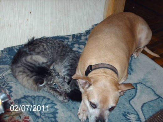 Soprano sleeping with my old Pit Bull Dixie.  Dixie left us last summer.