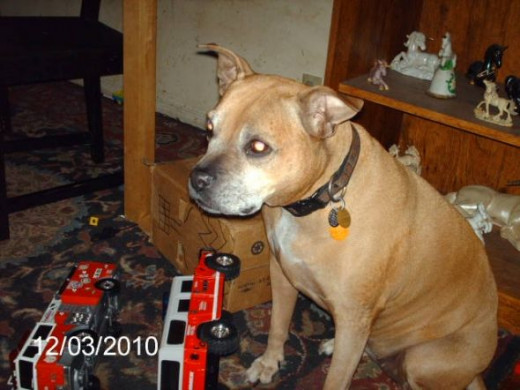 Dixie with one of my son's toys.  She went over the Rainbow Bridge in July of 2011.