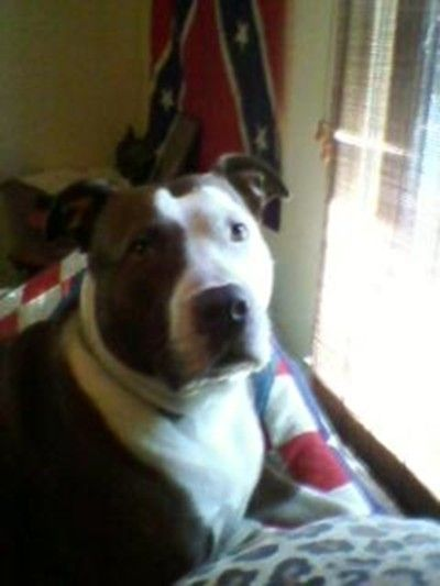 A close up of Carmen.  Our other Pit Bull.  She went over the Rainbow Bridge in March of 2011.