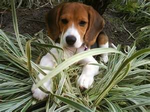 Beagle photo courtesy of Wikimedia commons