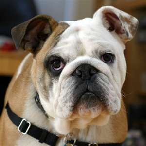 Bulldog photo courtesy of Wikimedia Commons