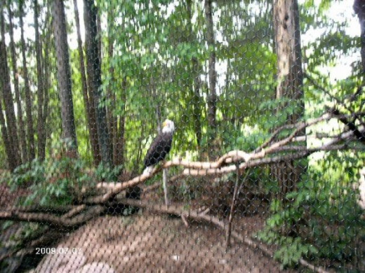 This is a bald eagle.  She was found with a broken wing that couldn't be repaired.  That's how she came to be here.