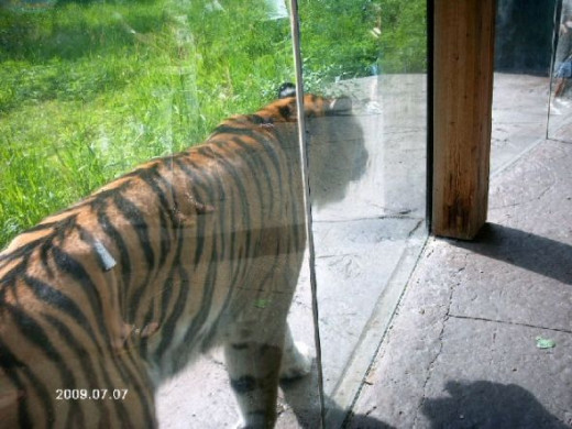 This is a tiger.  This enclosure was incredible.  Ever been this close to a tiger?
