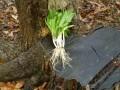 Wild Leeks: A Woodland Herb and Good Food