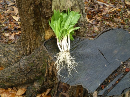 Both the white scallion like bulb and the leaf of the wild leek are edible.
