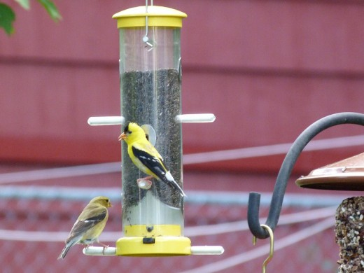 American Goldfinch pair at our nyjer feeder