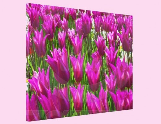 Purple Tulips in Keukenhof, Holland Wrapped Canvas