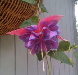 boldly colorful fuchsia