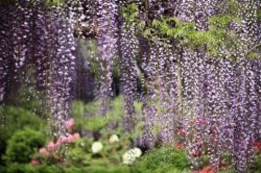 hanging wisteria flowers