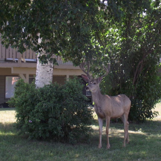 Urban deer munching of flowers in the front yard.