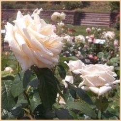 Maplewood Park & Rose Garden Rochester New York