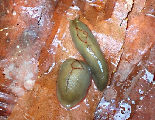 Red triangle slugs, or Triboniophorus graeffei; this species has only two tentacles instead of four, a variable background color and a distinctive mark on its back