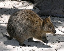 A Quokka from Rottnest island