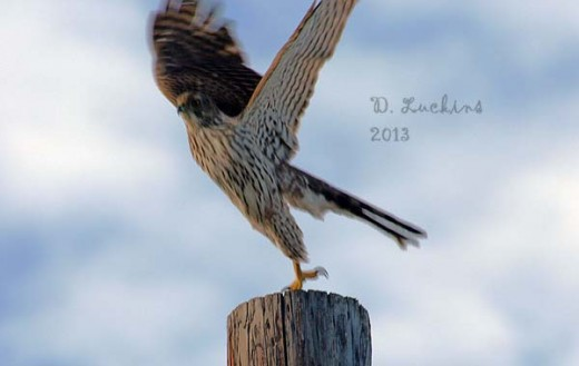 Cooper's hawk taking off.