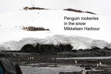 Penguin Rookeries in the Snow