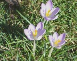 Crocuses Blossoming in February