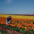 Tulip Festival Skagit Valley