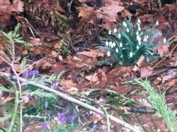 Snowdrops and Purple Crocuses Blossoming in March