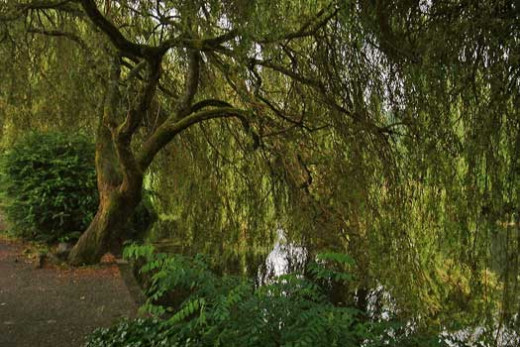 Beautiful Tree Cascading into Ambleside Pond