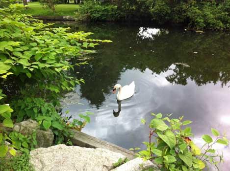 A Swan in Ambleside Pond