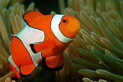 Clown Fish Living in a Coral Reef, which is just one of the facts that is correctly depicted in the movie!