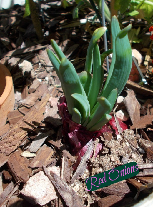 Red Onions may be planted whole to seed an area with small onions. They will flower if you let them go.
