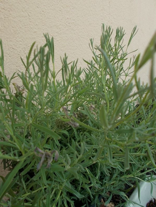 Lavender is soothing herb popular in herbal medicine and beauty products. It is said to be a lucky plant to have at the entrance to your garden.