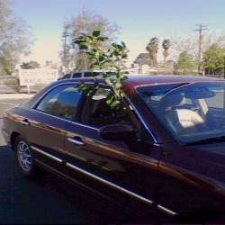 Lemon Tree In Car