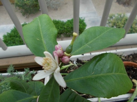 Lemon blossoms, buds, and small lemon developing.