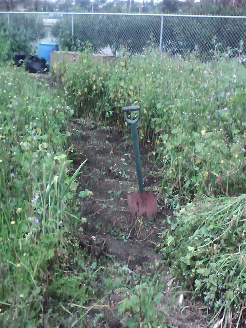I managed to get a path through the Victory Garden which will make it easier to work our way through the garden