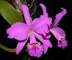 Teacup Orchids-Mini Orchids